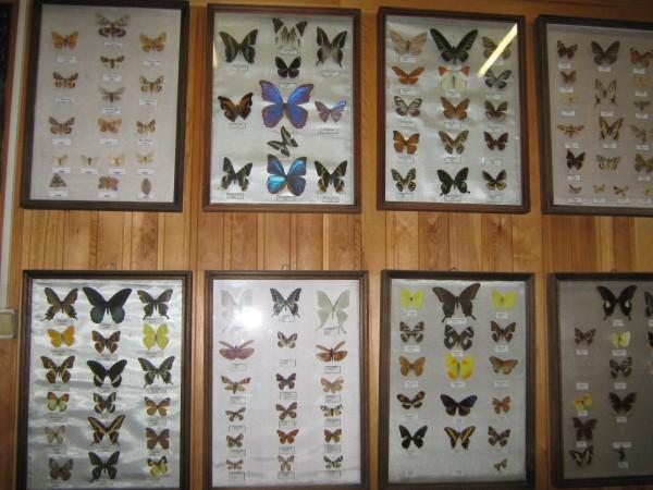 Коллекция бабочек на стене музея © Алёна Груя