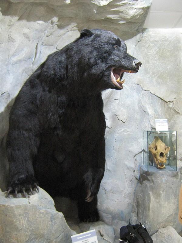 Реконструкция пещерного медведя © Алёна Груя