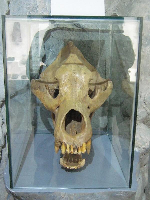 Череп пещерного медведя в Музее природы © Алёна Груя