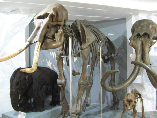 Скелет самки мамонта в Музее природы © Алёна Груя