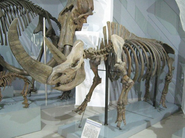 Скелет шерстистого носорога в Музее природы © Алёна Груя