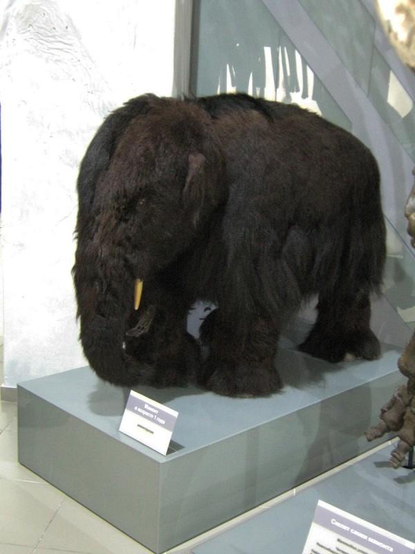 Реконструкция мамонтенка в Музее природы © Алёна Груя