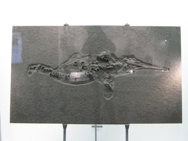 Экспонат палеонтологической выставки – ихтиозавр © Алёна Груя