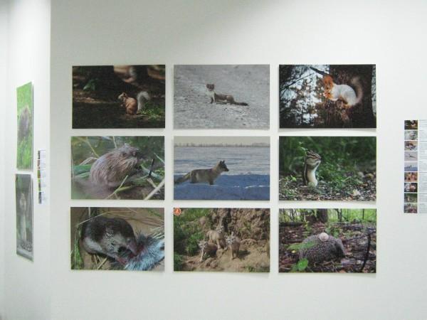 Фотографии на выставке «Животный мир Новосибирской области» © Алёна Груя