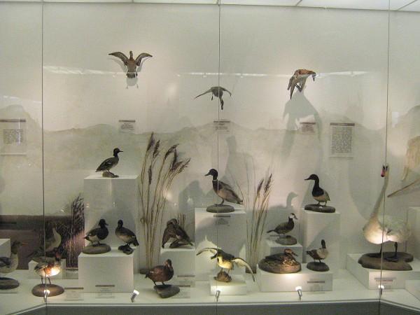 Экспонаты выставки – птицы, обитающие в НСО© Алёна Груя
