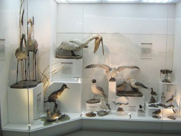 Экспозиция «Птицы НСО» в Музее природы © Алёна Груя