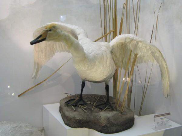 Лебедь – экспонат Музея природы © Алёна Груя