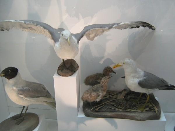 Экспонаты на выставке «Птицы НСО» в Музее природы © Алёна Груя
