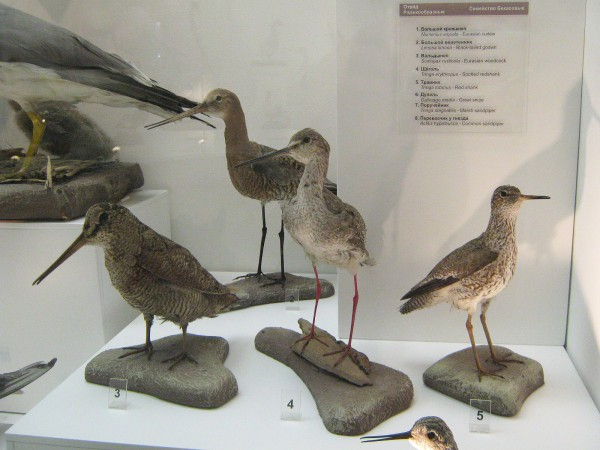 Птицы отряда ржанкообразные – экспонаты выставки © Алёна Груя