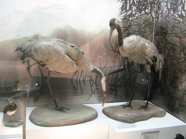 Серые журавли – экспонаты выставки © Алёна Груя