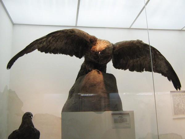 Беркут – экспонат выставки «Птицы НСО» © Алёна Груя