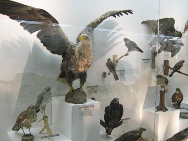 Экспонаты Музея природы, экспозиция «Птицы НСО» © Алёна Груя