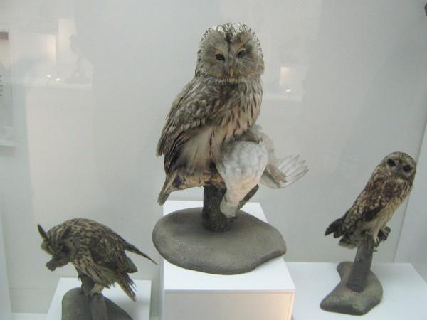 Совы – экспонаты выставки «Птицы НСО» © Алёна Груя