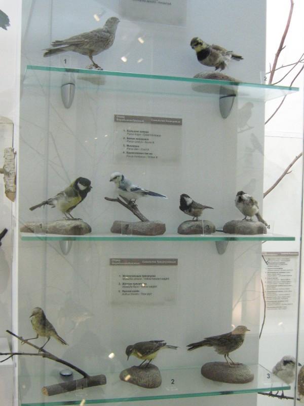 Синицы и трясогузки – экспонаты выставки «Птицы НСО» © Алёна Груя