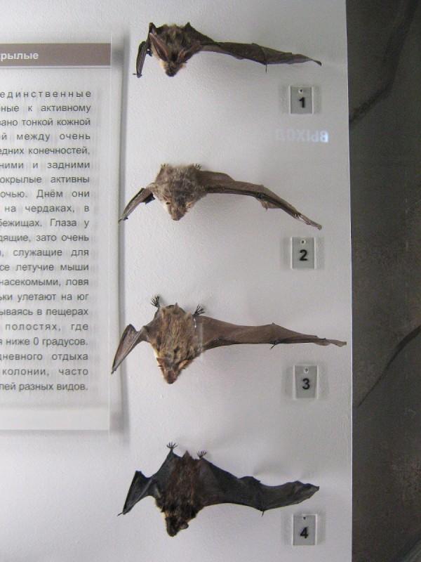 Летучие мыши в Музее природы © Алёна Груя