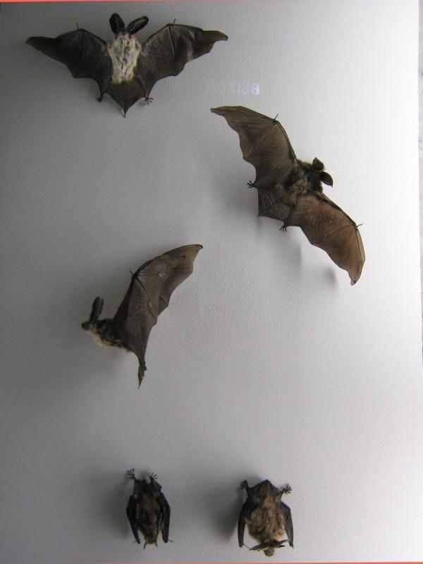 Экспонаты Музея природы – летучие мыши © Алёна Груя