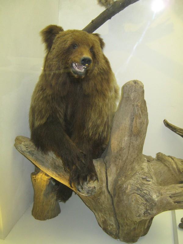 Медведь – экспонат выставки «Млекопитающие НСО» © Алёна Груя