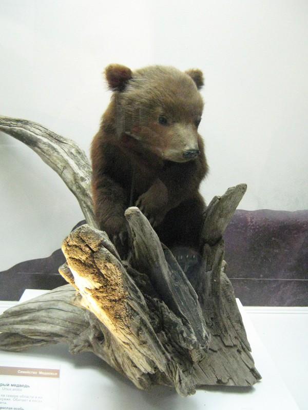 Экспонат в Музее природы - медвежонок © Алёна Груя