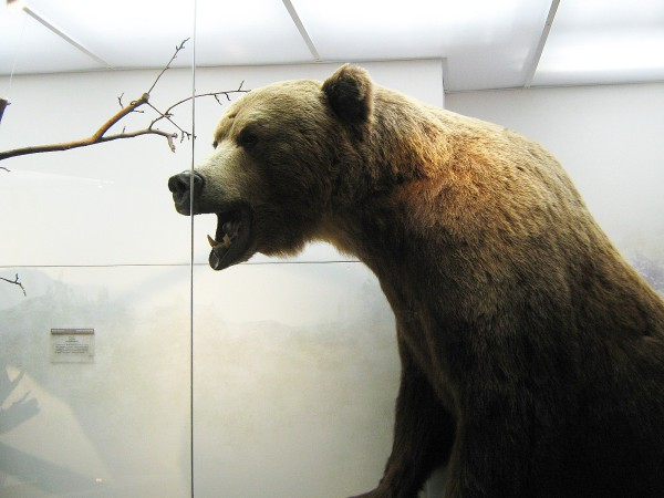Бурый медведь – экспонат в Музее природы © Алёна Груя