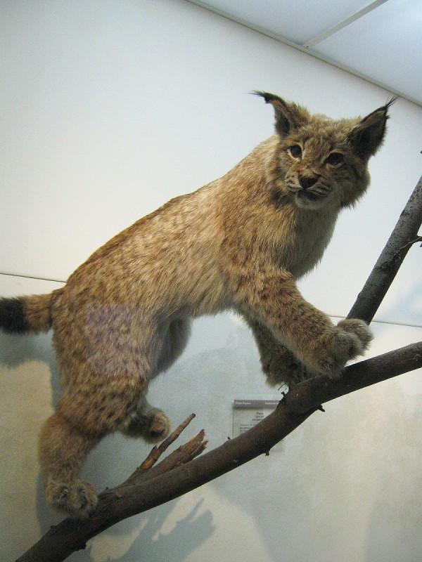 Рысь – экспонат выставки «Млекопитающие НСО» © Алёна Груя