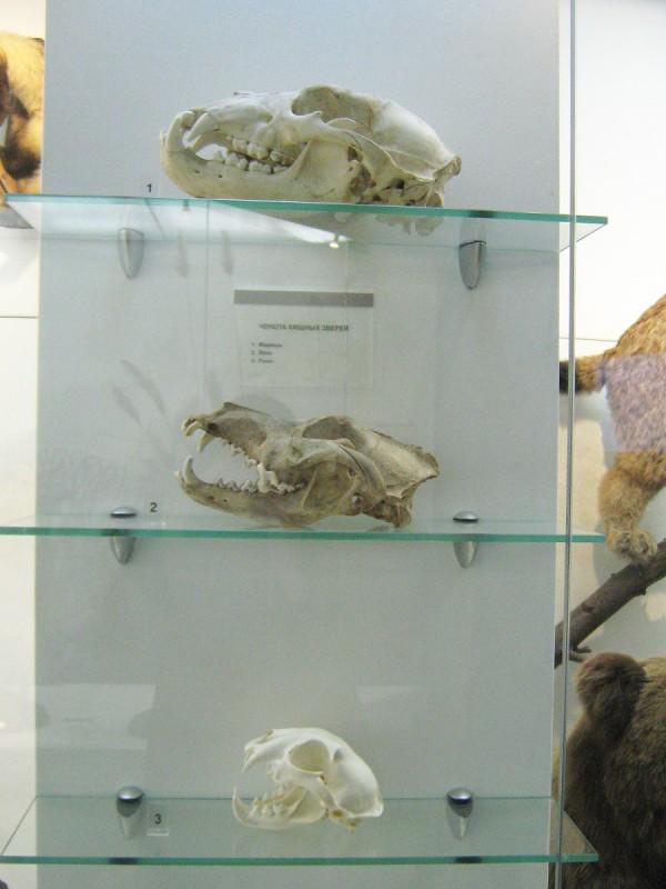 Черепа хищных животных – экспонаты выставки «Млекопитающие НСО» © Алёна Груя