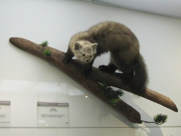 Соболь – экспонат Музея природы © Алёна Груя