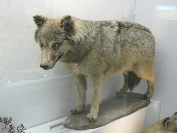 Волк – экспонат Музея природы © Алёна Груя