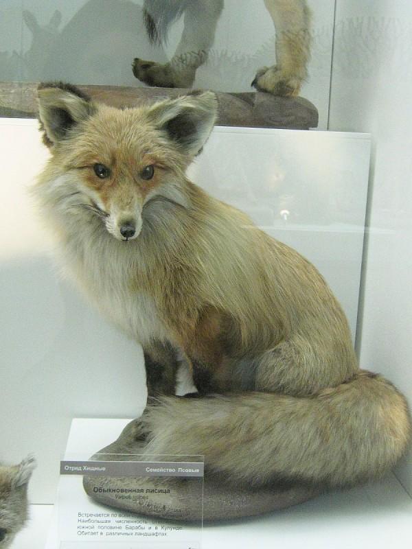 Лиса – экспонат выставки «Млекопитающие НСО» © Алёна Груя