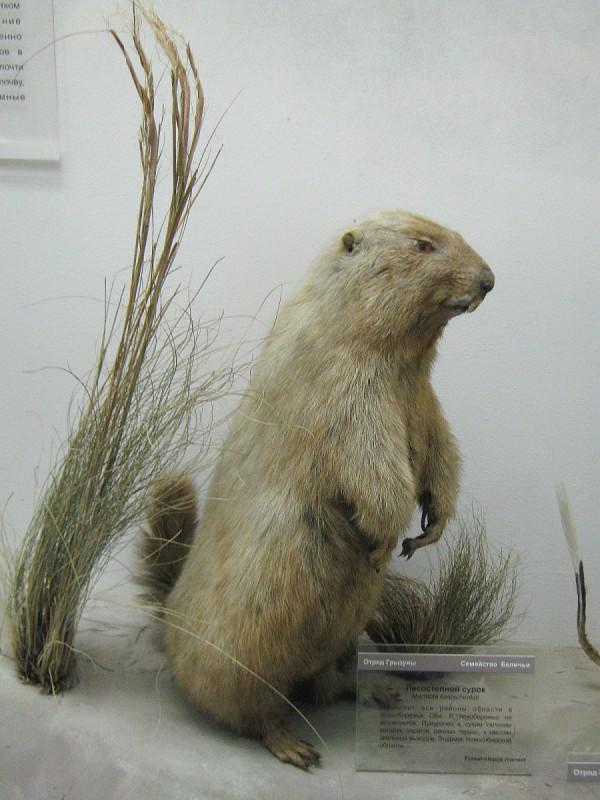 Лесостепной сурок – экспонат выставки в Музее природы © Алёна Груя