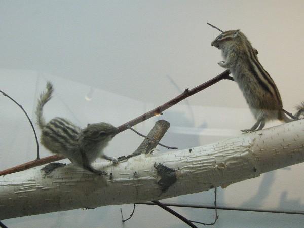 Бурундуки – экспонаты выставки «Млекопитающие НСО» © Алёна Груя