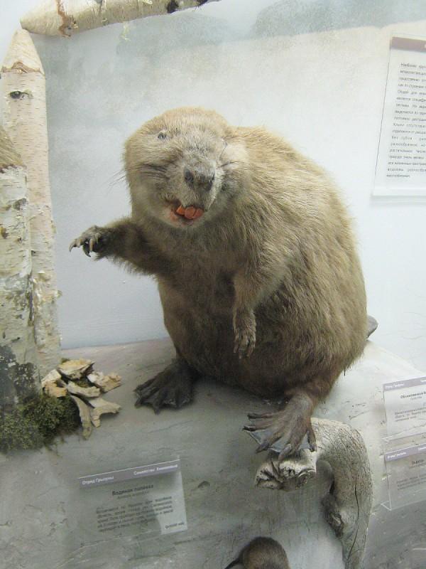 Бобр – экспонат выставки «Млекопитающие НСО» © Алёна Груя
