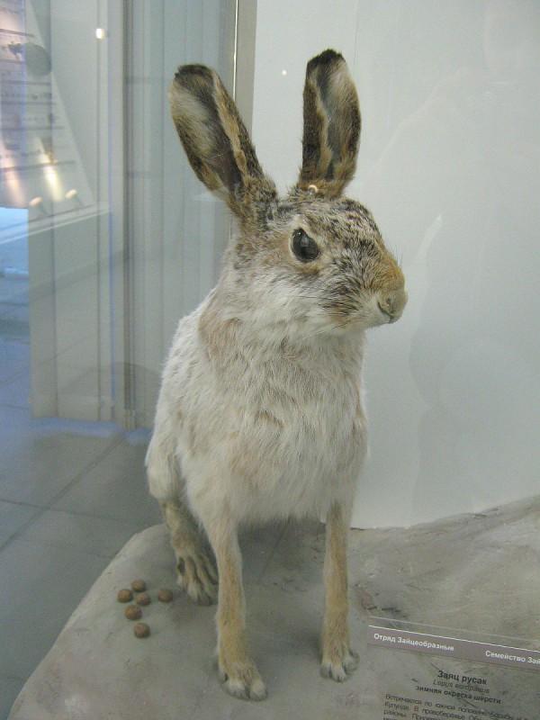 Один из экспонатов Музея природы - заяц © Алёна Груя
