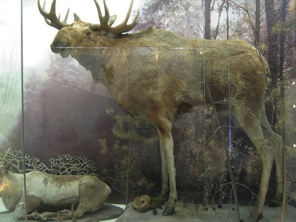 Лось – экспонат Музея природы © Алёна Груя
