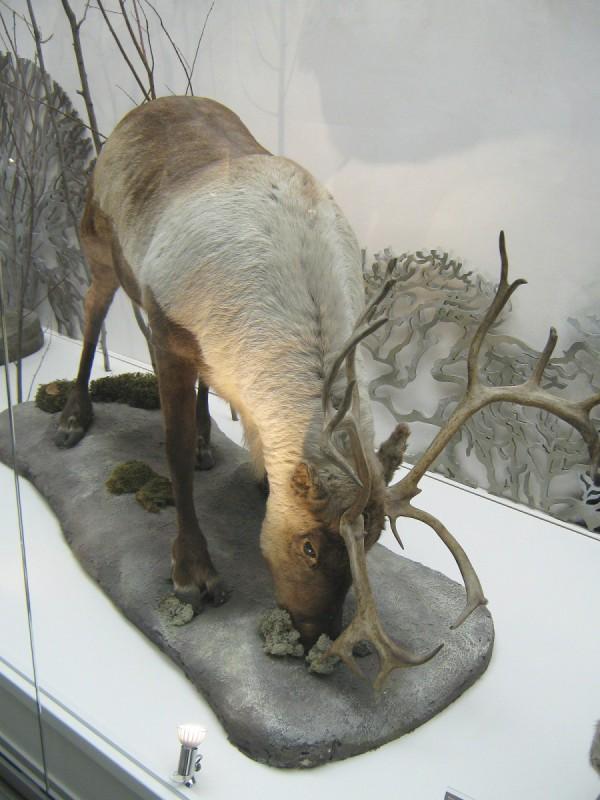 Олень – экспонат Музея природы © Алёна Груя