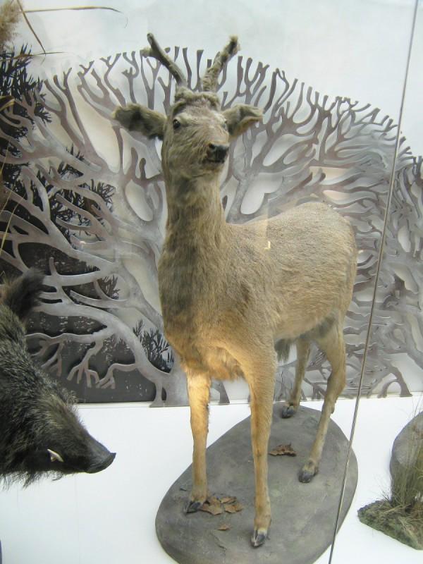 Экспонат в Музее природы - олениха © Алёна Груя